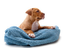 Puppy and towel Royalty Free Stock Photos
