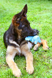 Puppy with a toy. The German shepherd puppy with a dog toy royalty free stock photography