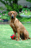 Puppy with toy. A cute beautiful face of an inactive Rhodesian Ridgeback hound dog puppy with sad pretty expression watching other dogs in the garden. The Royalty Free Stock Photography