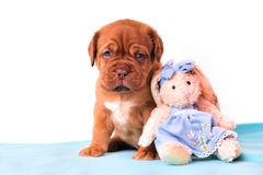 Puppy with a Toy Royalty Free Stock Photography