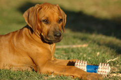 Puppy with toy Stock Image