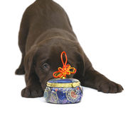 Puppy with a toy. Puppy of Labrador of retriver. Chocolate puppy with a toy Royalty Free Stock Photography
