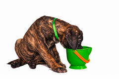 Puppy and a Toy Bucket Royalty Free Stock Image