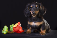Puppy with toy. Royalty Free Stock Photo