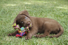 Puppy with toy. Dog puppy with colourful toy Royalty Free Stock Photos