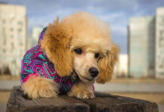 Puppy toy poodle, peach color, looking wary. pet Royalty Free Stock Images