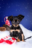 Puppy toy terrier sitting in the snow. Puppy toy terrier sitting on the snow in the New Year decor on a blue background Stock Photography