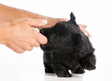 Puppy training. Puppy chewing on owners finger on white background Royalty Free Stock Photography