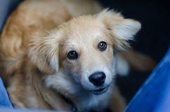 Puppy traveling on the floor in the car Royalty Free Stock Image
