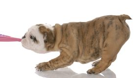 Puppy tugging. Nine week old english bulldog  on pink fabric Stock Image