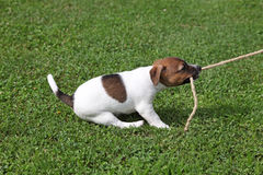 Puppy tugging on a rope Royalty Free Stock Photography