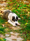 Puppy of the Turkmen wolfhound in the yard Royalty Free Stock Photo
