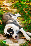 Puppy of the Turkmen wolfhound in the yard Royalty Free Stock Image
