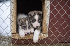 Puppy two months old husky dog Royalty Free Stock Image