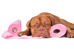 Puppy with two rolls of toilet paper Stock Photo