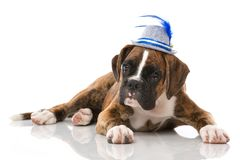 Puppy with tyrolean hat isolated. Lying boxer puppy with tyrolean hat isolated on white background Royalty Free Stock Photo