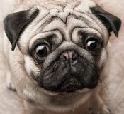 Puppy ugly face of a pug. Ugly face of a puppy of breed pug close up Royalty Free Stock Image
