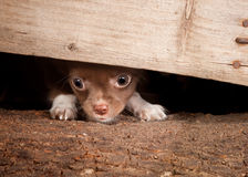 Puppy under a fence Royalty Free Stock Images