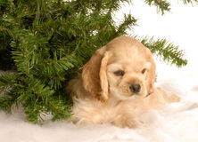 Puppy under tree in snow. American cocker spaniel puppy laying down under pine tree in the snow stock images