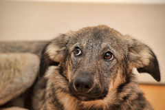 Puppy unhappily. Puppy miserably pooch lying on the floor Royalty Free Stock Images