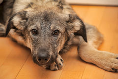 Puppy unhappily. Puppy miserably pooch lying on the floor Royalty Free Stock Photo