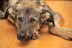Puppy unhappily. Puppy miserably pooch lying on the floor Stock Photo