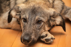Puppy unhappily Stock Images