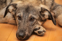 Puppy unhappily. Puppy miserably pooch lying on the floor Royalty Free Stock Photography