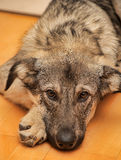 Puppy unhappily. Puppy miserably pooch lying on the floor Royalty Free Stock Photos