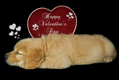 Puppy Valentine Royalty Free Stock Photos
