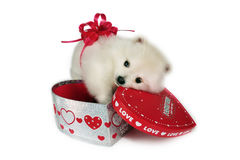 Puppy for Valentine. Royalty Free Stock Images