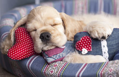 Puppy and valentine heart Royalty Free Stock Photos