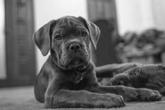 Puppy van Cane Corso-close-up in zwart-wit beeld stock afbeeldingen