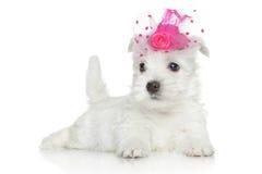 Puppy van de Terriër van het Hoogland van het westen het Witte Royalty-vrije Stock Foto's