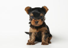 Puppy van de terriër van Yorkshire op witte achtergrond Royalty-vrije Stock Foto's