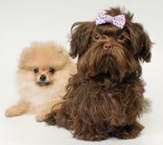 Puppy van een een spitz-hond en hond van de kleurenoverlapping stock afbeeldingen