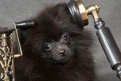 Puppy van een spitz-hond met telefoon royalty-vrije stock foto