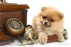 Puppy van een spitz-hond met telefoon royalty-vrije stock fotografie