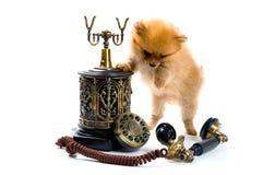 Puppy van een spitz-hond met telefoon royalty-vrije stock foto's