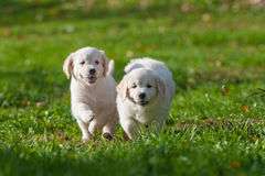 Puppy van Golden retriever Stock Foto
