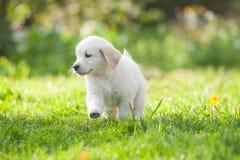 Puppy van Golden retriever Royalty-vrije Stock Afbeelding