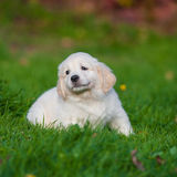 Puppy van Golden retriever Stock Afbeeldingen