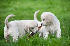 Puppy van Golden retriever Royalty-vrije Stock Afbeeldingen