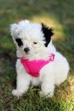 puppy van het 2 maand het oude gemengde ras Stock Foto's