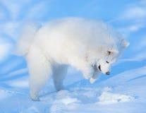 Puppy van hond Samoyed Royalty-vrije Stock Foto's