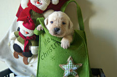 Puppy van Kerstmis het gele Labrador in doos Royalty-vrije Stock Afbeeldingen