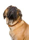 Puppy van meisje van 8 maanden boerboel Stock Fotografie