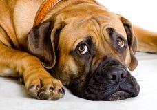 Puppy van meisje van 8 maanden boerboel Royalty-vrije Stock Afbeeldingen