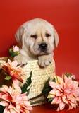 Puppy van ras Labrador in een mand. stock afbeeldingen