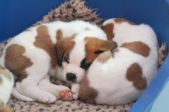 Puppy van rassensint-bernard Martigny, Valais, Zwitserland royalty-vrije stock foto
